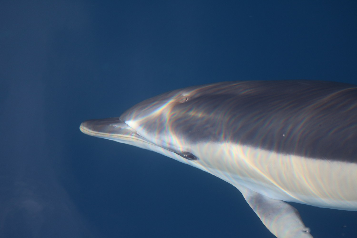Common dolphin in glassy waters