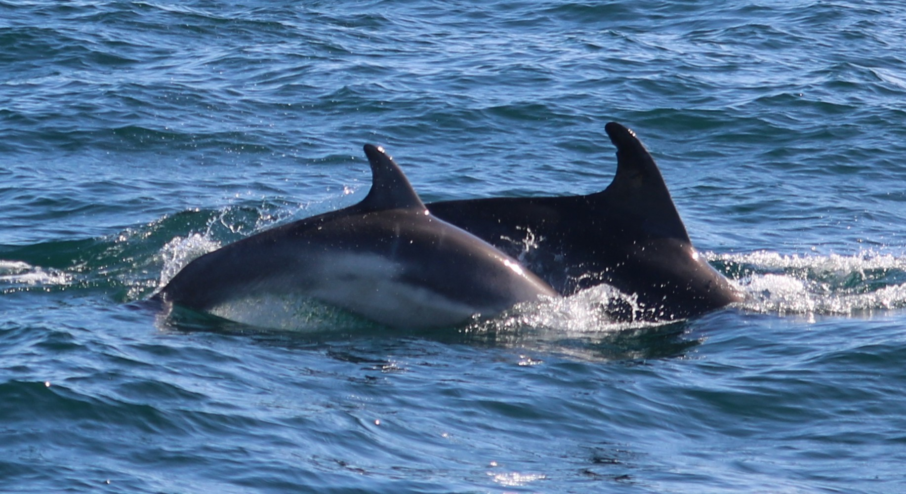 Bottlenose dolphins cow and calf with foetal folds