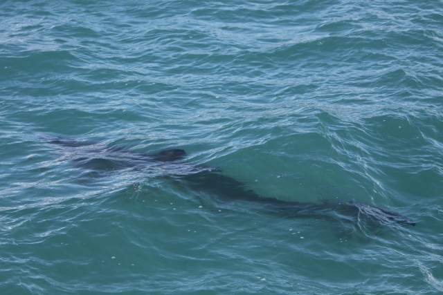 Juvenile basking shark, west Cork 31st March, by P Whooley, IWDG