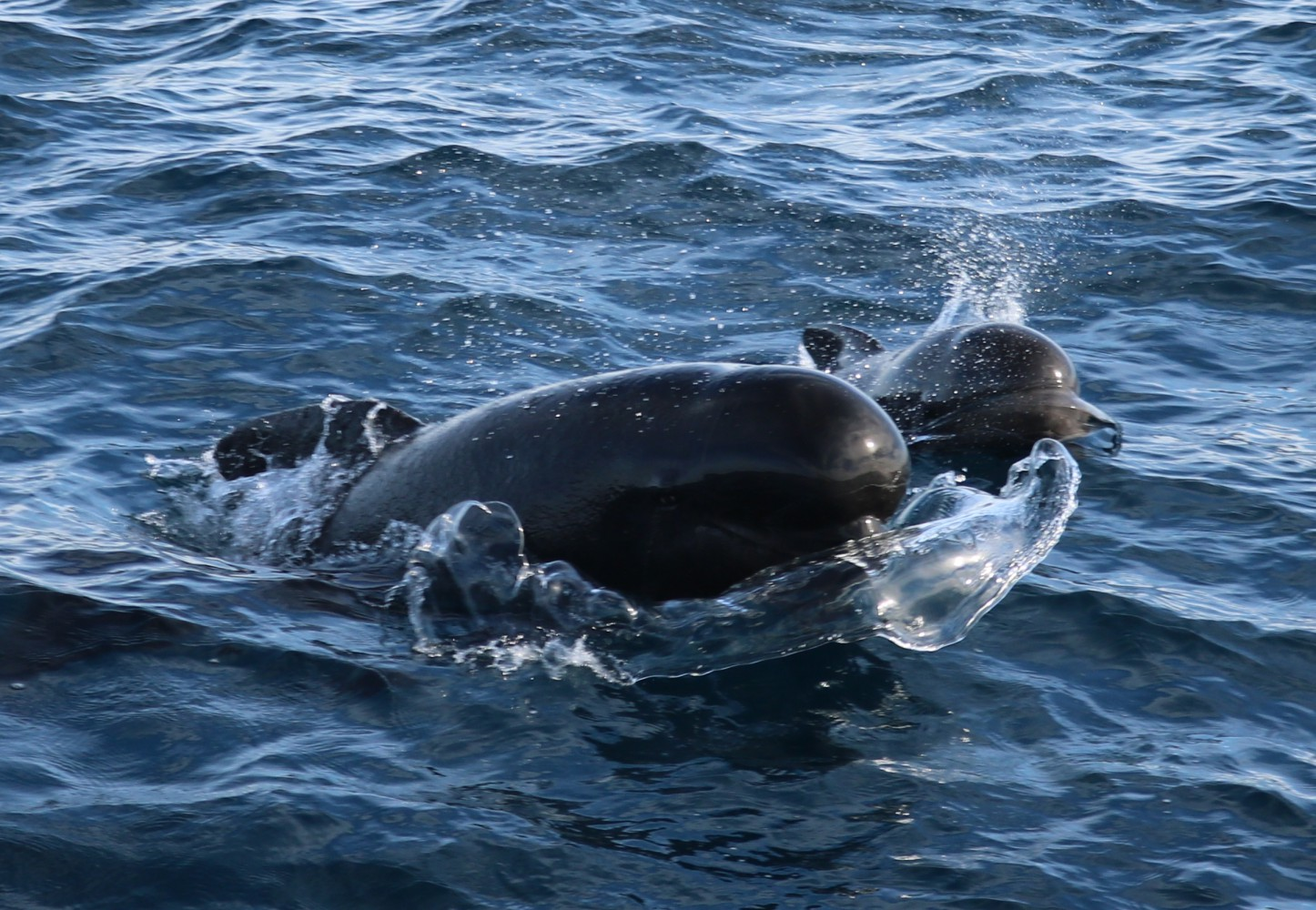 Long finned pilot whales cow and calf
