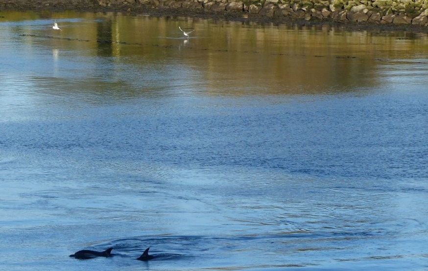 Common dolphins in the River Lee – Update 18 Jan 2016 | | Irish