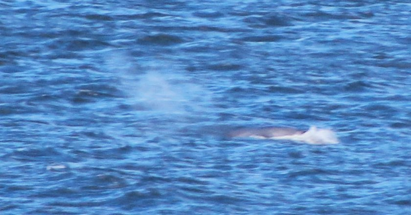 Fin whale surfacing 16th April, Dingle Bay, Dave O' Connor, Wolfhound Tours
